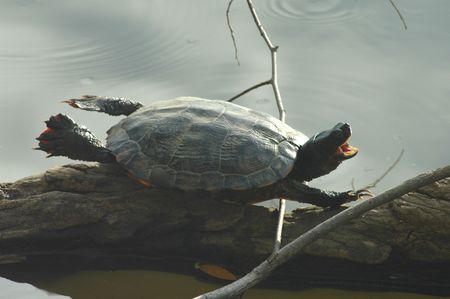 An aquatic turtle appears to be trying to fly while it basks in the sun on a log. Stock Photo - 2374481