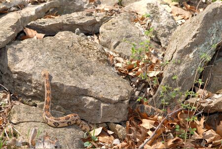 A large timber rattlesnake is crawling over rocks near its den in early spring. Stock Photo