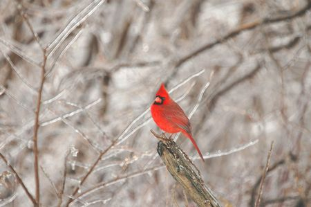 A male northern cardinal sitting at the end an of ice covered branch. Stock Photo