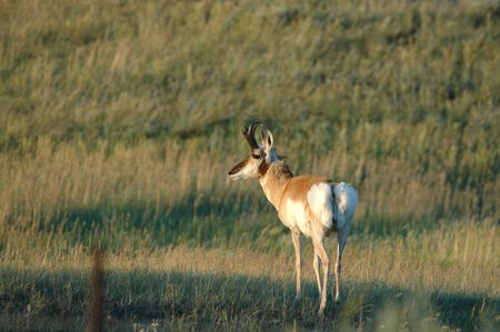 potential: A male pronghorn surveys the landscape for potential predators or female pronghorn.