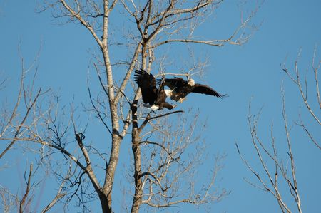 spar: Two mature bald eagles spar in flight over a prime perch.