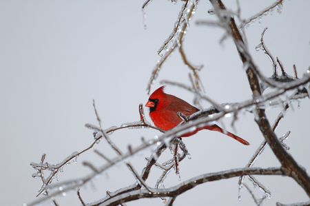 popularity: The northern cardinal holds the record for popularity as a state bird. It is the state bird in seven states.
