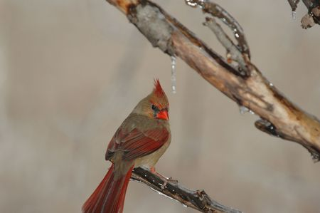 The female red bird is sill pretty but lacks the bright red coloring of the male.