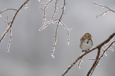 A small house sparrow huddles on an icy branch on a cold winter day.