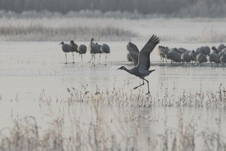 sandhill crane: A sandhill crane takes a running start  on this frozen lake in New Mexico.