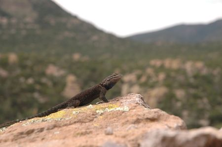 herpetology: A dark colored spiny lizard from the high elevation of a southern Arizona mountain range.