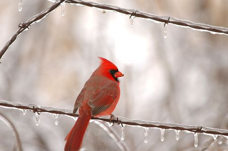 The bright red male cardinal is the state bird in 7 states.
