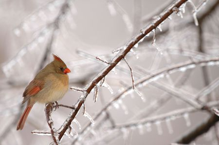 A common winter scene in the midwest is the female cardinal perched near a feeder.