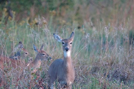 A female deer is followed through the tall grass by two late season fawns. Stock Photo