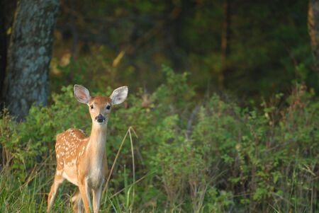 An adorable image of a young fawn just walking out of the forest. Stock Photo - 2388497