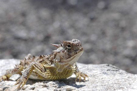 A Texas horned lizard basking on a rock with a rocky background. Фото со стока
