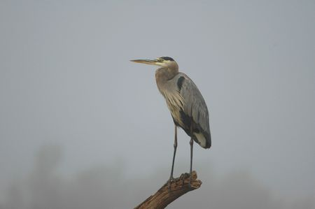 ardea: A great blue heron perched on an old snag on a very foggy and overcast day. Stock Photo
