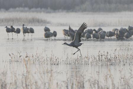 sandhill crane: A single sandhill crane takes a running start to flight on an icy frozen lake.