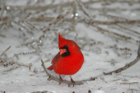 A bright red male cardinal perched on a small twig in the snow.