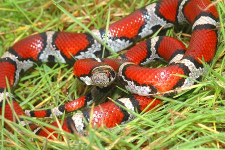 A brightly colored adult red milk snake coiled in damp green grass.