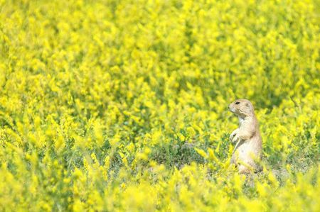 mustard plant: A black-tailed prairie dog in a meadow of yellow mustard plant.