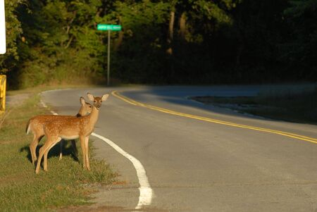 Two deer fawns stand dangerously close to the road.