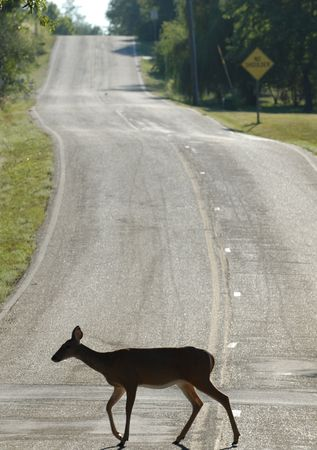 A white-tailed deer doe is seen here crossing the street during the day. photo