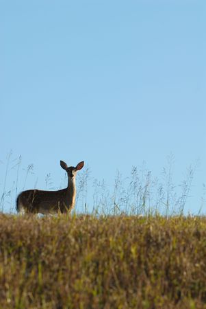 A small deer on the side of a hill in the glow of an early morning. photo