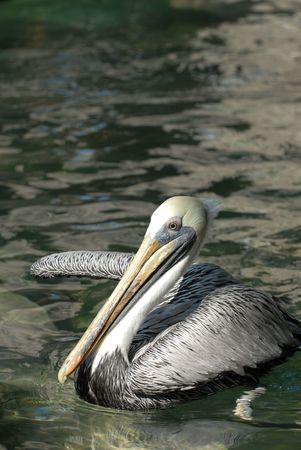 threatened: The brown pelican is a threatened species over much of its natural range. Stock Photo