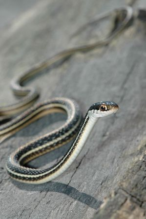 herpetology: A cute angled image of a western ribbon snake from northern Missouri.