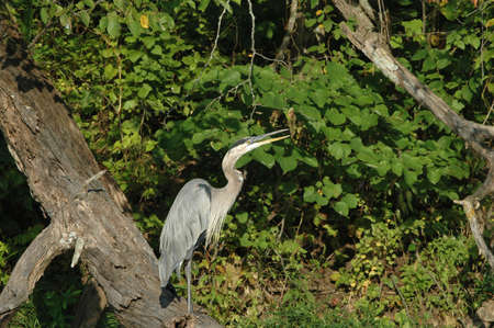 basking: A blue heron perches on a fallen tree and basks in the early morning sun on a pleasant summer day.