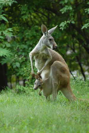 A female kangaroo is looking over her shoulder while her Joey looks around from the safety of her pouch. Stock Photo