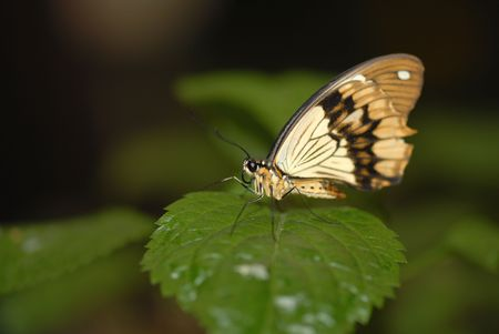 sized: A medium sized butterfly from Peru sitting on a green leaf. Stock Photo
