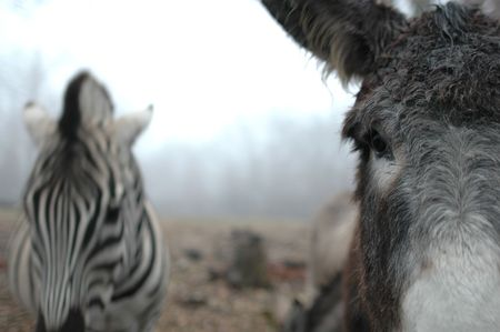 An interesting image of a domestic donkey in the foreground and an African zebra blurred in the distance. Stock Photo