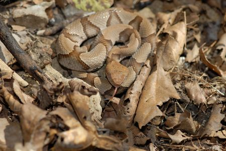 A young copperhead snake is hard to see when coiled among leaf litter on the forest floor.