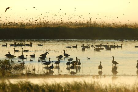 Its a busy morning in the wetlands of a Missouri wildlife refuge. Stock Photo