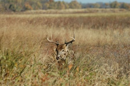 A large trophy buck emerging from the tall grass.