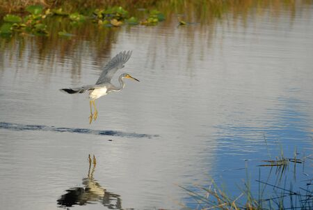 A tricolored heron flying across a small canal in search of fish.