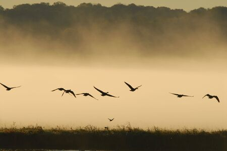 Geese take flight from the refuge of the wetlands waters. Stock Photo