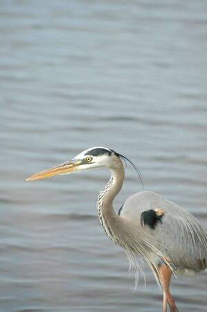 A colorful great blue heron hunting the shallow waters of a Florida bay. photo