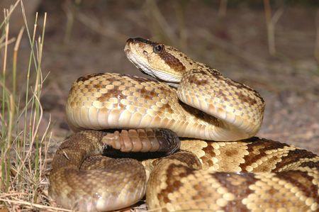 defensive posture: Una serpiente de cascabel de cola negro del sur de Arizona en una postura defensiva. Foto de archivo