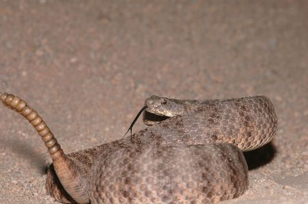 unusually: The tiger rattlesnake has an unusually large rattle for a snake of such a small size.