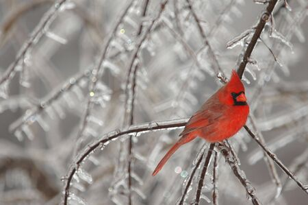 A brightly colored male northern cardinal photographed on a cold winter day. Stock Photo