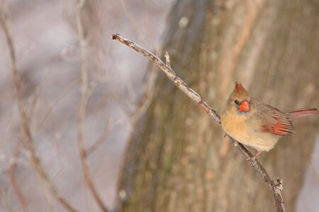 female cardinal: A female cardinal perched on a branch prepared to take flight at a moments notice.
