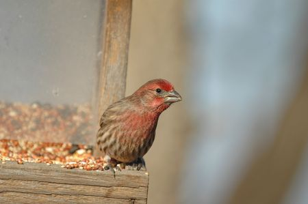 curiously: A small reddish house finch leans curiously off the side of a wooden bird feeder. Stock Photo