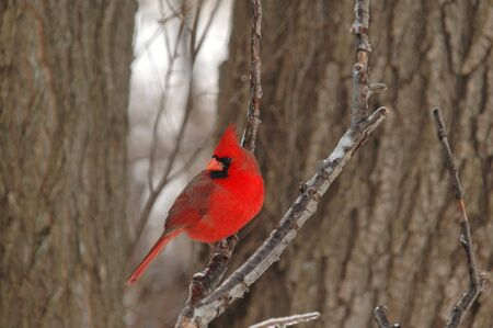A bright red male cardinal perched on an ice covered branch. Stock Photo