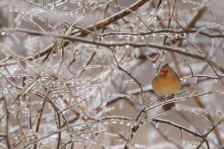 A female cardinal perches on a limb within a jungle of ice. Stock Photo