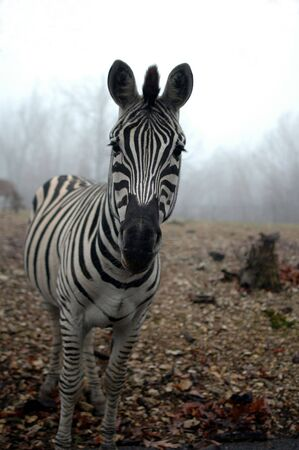 A black and white zebra stands alone with fog and sky in the background.