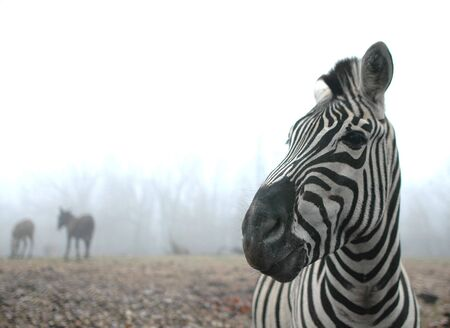 A striped zebra stands in front of a foggy forest on a winter day.