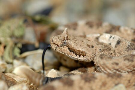 A Sonoran sidewinder located in the desert near Tucson.
