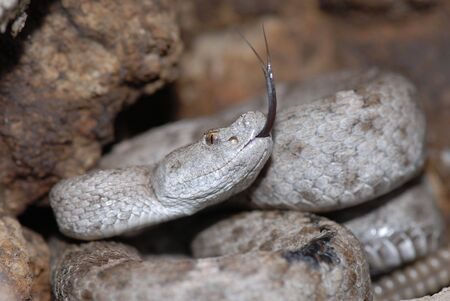 federally: This federally protected species of rattlesnake was photographed in the Peloncillo mountains of the Arizona and New Mexico border. Stock Photo