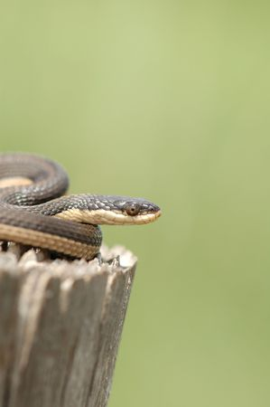 This Grahms crayfish snake was photographed in central Kansas.