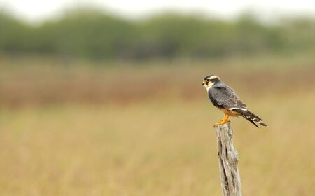 This aplomado falcon was photographed in extreme south Texas.