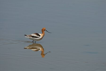 This american avocet is hunting in the shallow wetlands, photographed in central Kansas.