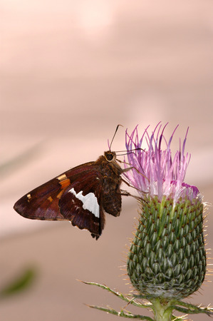 A common Missouri butterfly pollinating a cactus flower. Banco de Imagens